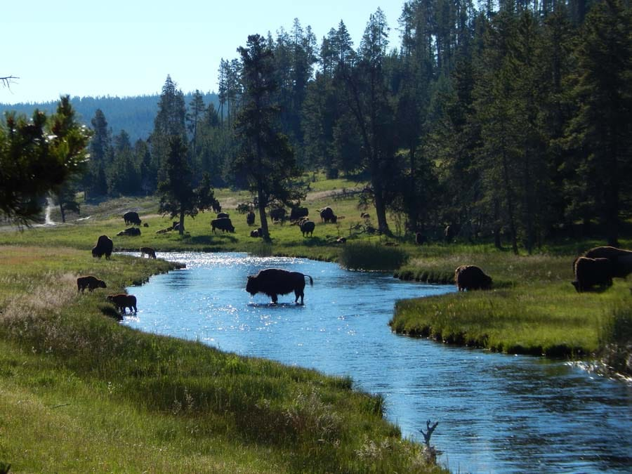 American bison in river