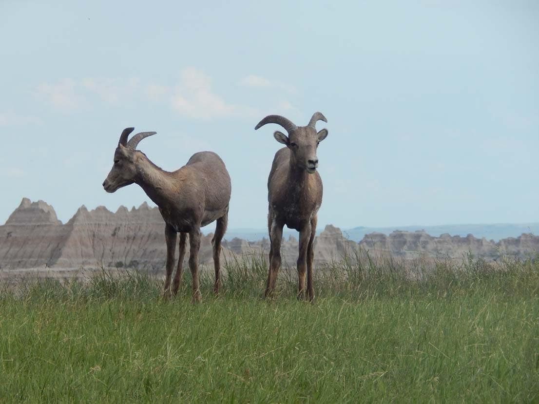 2 young sheep
