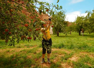 Peach piking in an ancient orchard