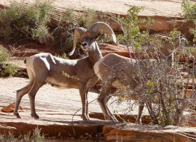 Proud big horn sheep