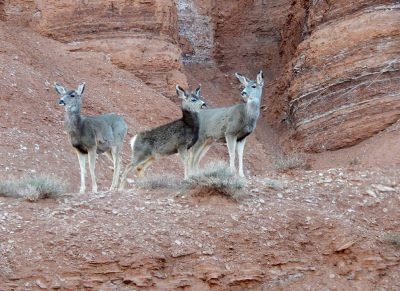 Deer in Capitol Reef National Park