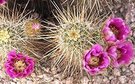 Desert Springs Cactus