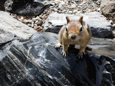 Ground Squirrel sitting on volcanic Obsidian