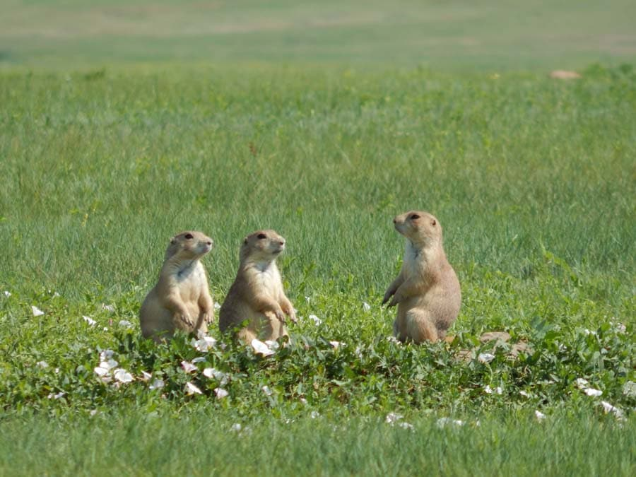 3 prarie dogs