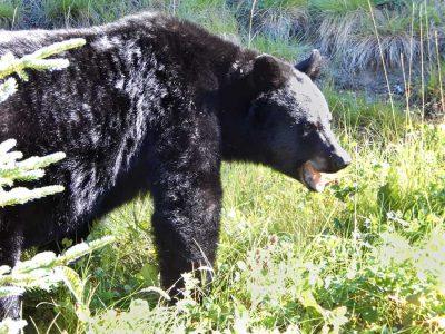 Black Bear in Oregon, seen near Crater Lake NP