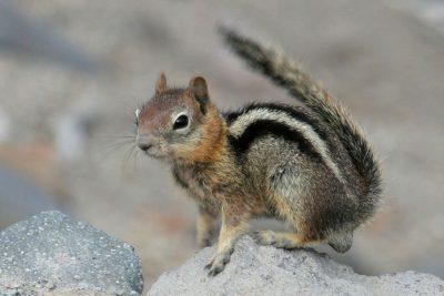 Chipmunk, common Crater Lake wildlife