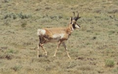 cl-pronghorn-antelope-01