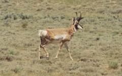 cl-pronghorn-antelope-01