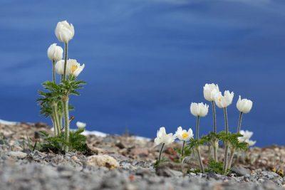 Wildflowers seen at Crater Lake Natioanl Park