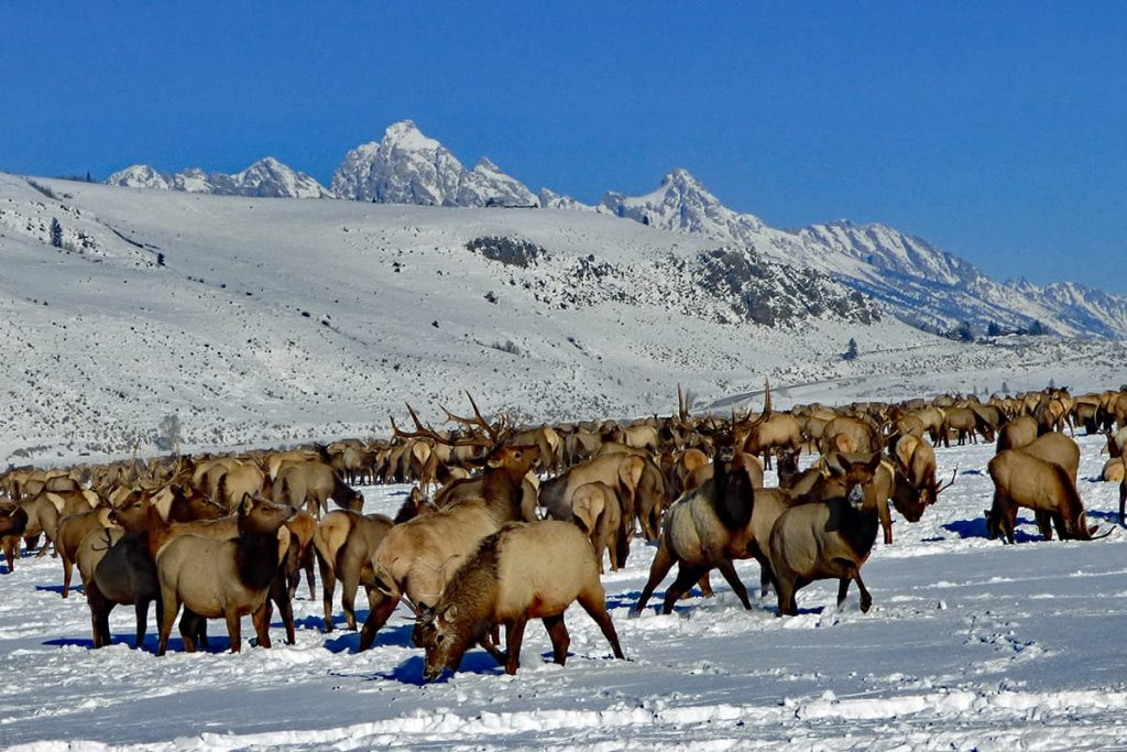 Elk herds in Grand Teton National Park