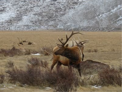 male elk in light snow