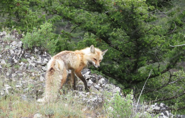 A rare red fox sighting in Yellowstone National Park