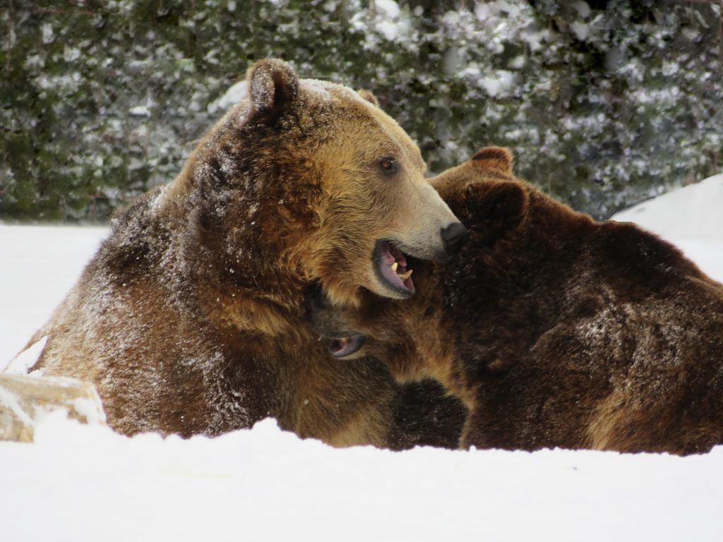 1 adult bears in snow
