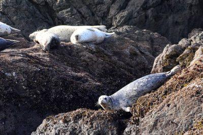 Harbor Seals lounging in Bandon, Oregon