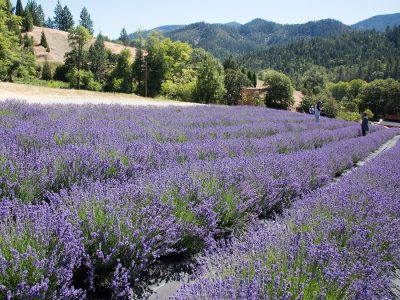 Lavender Farm in the Applegate Valley, Oregon