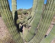 Organ Pipe Cactus NM