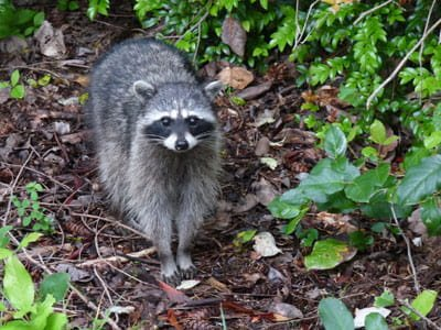 raccoon in green foliage